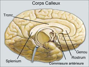Corps caleux